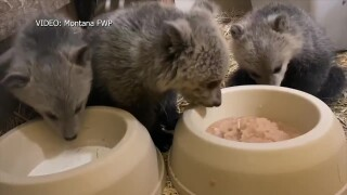 Orphaned grizzly bear cubs have found a new home
