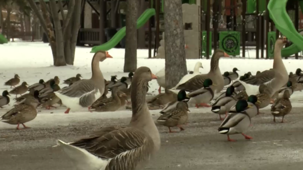 Kalispell city and residents tackle an overcrowded bird population in a popular park