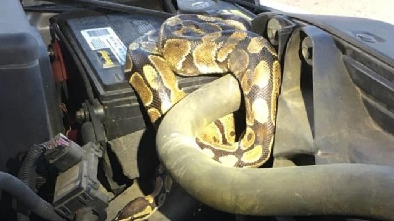 Omro Police find snake under SUV hood