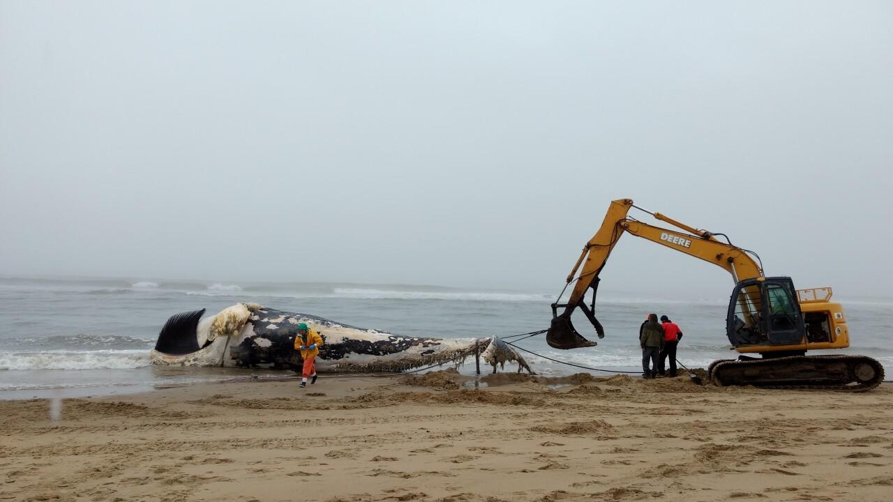 Deceased whale pulled in by police in Sandbridge area of VirginiaBeach