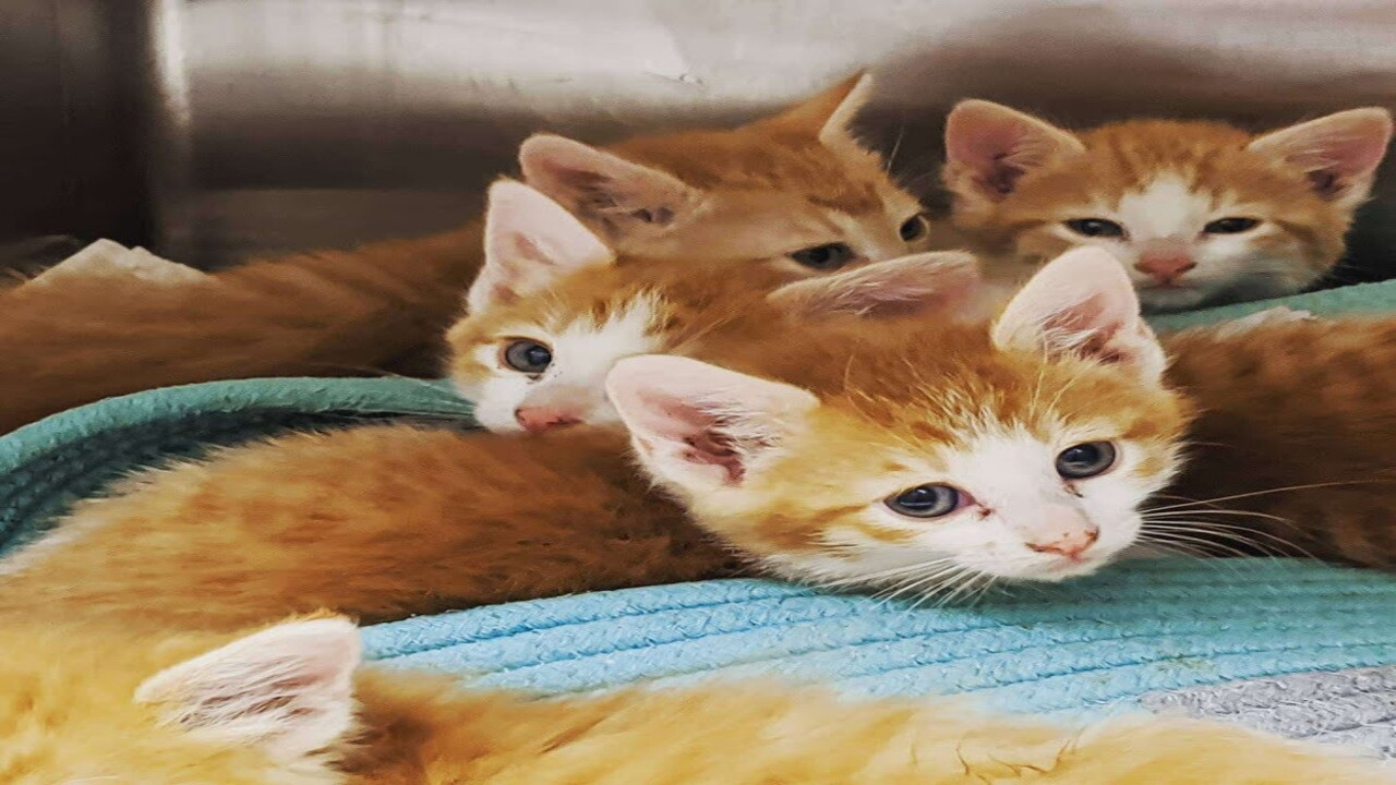 Humane Society of the Pikes Peak Region seeking foster parents for kittens
