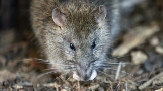 CDC: As restaurants reopen, scavenging rodents could become aggressive