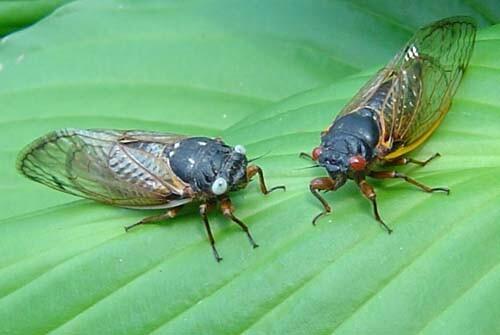 Cicadas with blue eyes.jpg