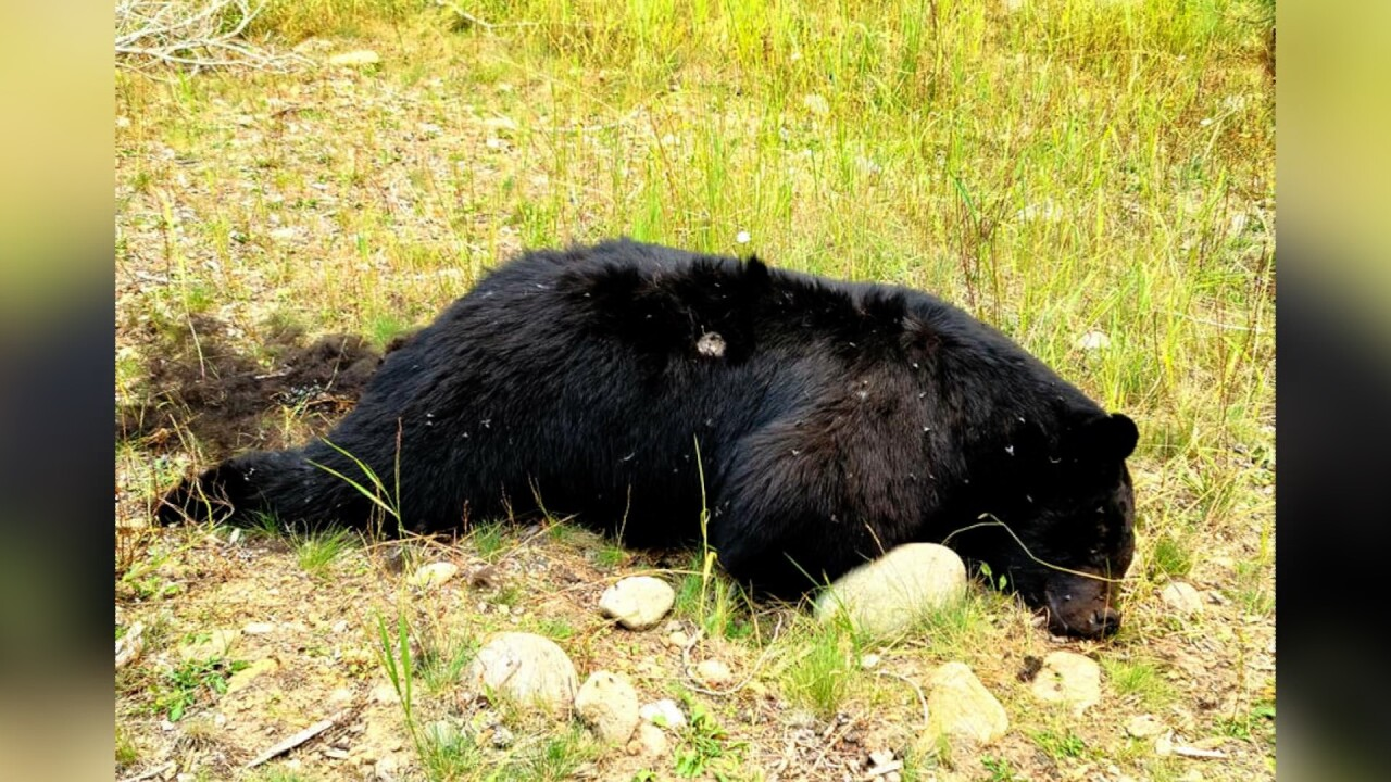 Montana FWP searching for person who killed and dumped a black bear in the Bitterroot