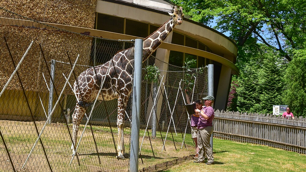Caesar the giraffe at The Maryland Zoo (5).jpg