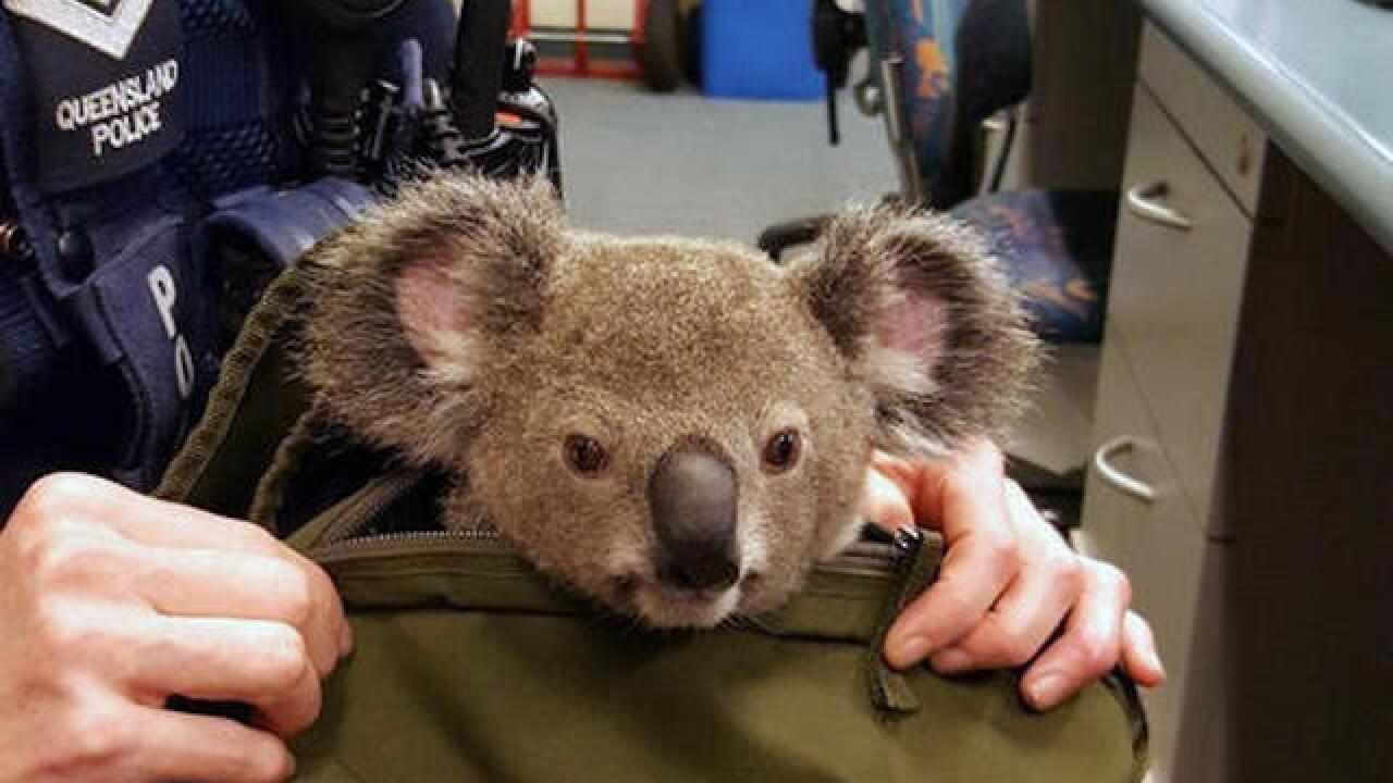 Aussie police search of woman yields a baby koala