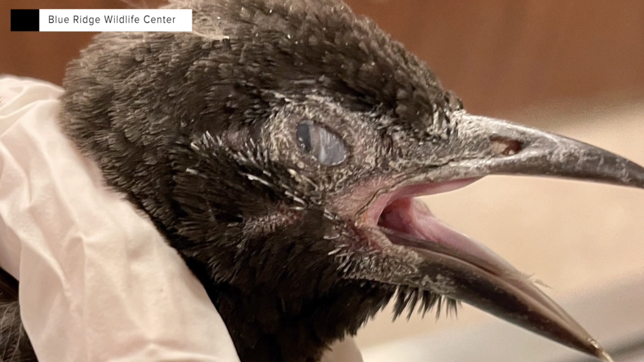 In this picture, provided by the Blue Ridge Wildlife Center, which has been treating some of the sick birds, the symptoms can be obvious. Most of the ill birds die within days.