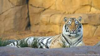 Online petition calls for release of LSU's Mike the Tiger