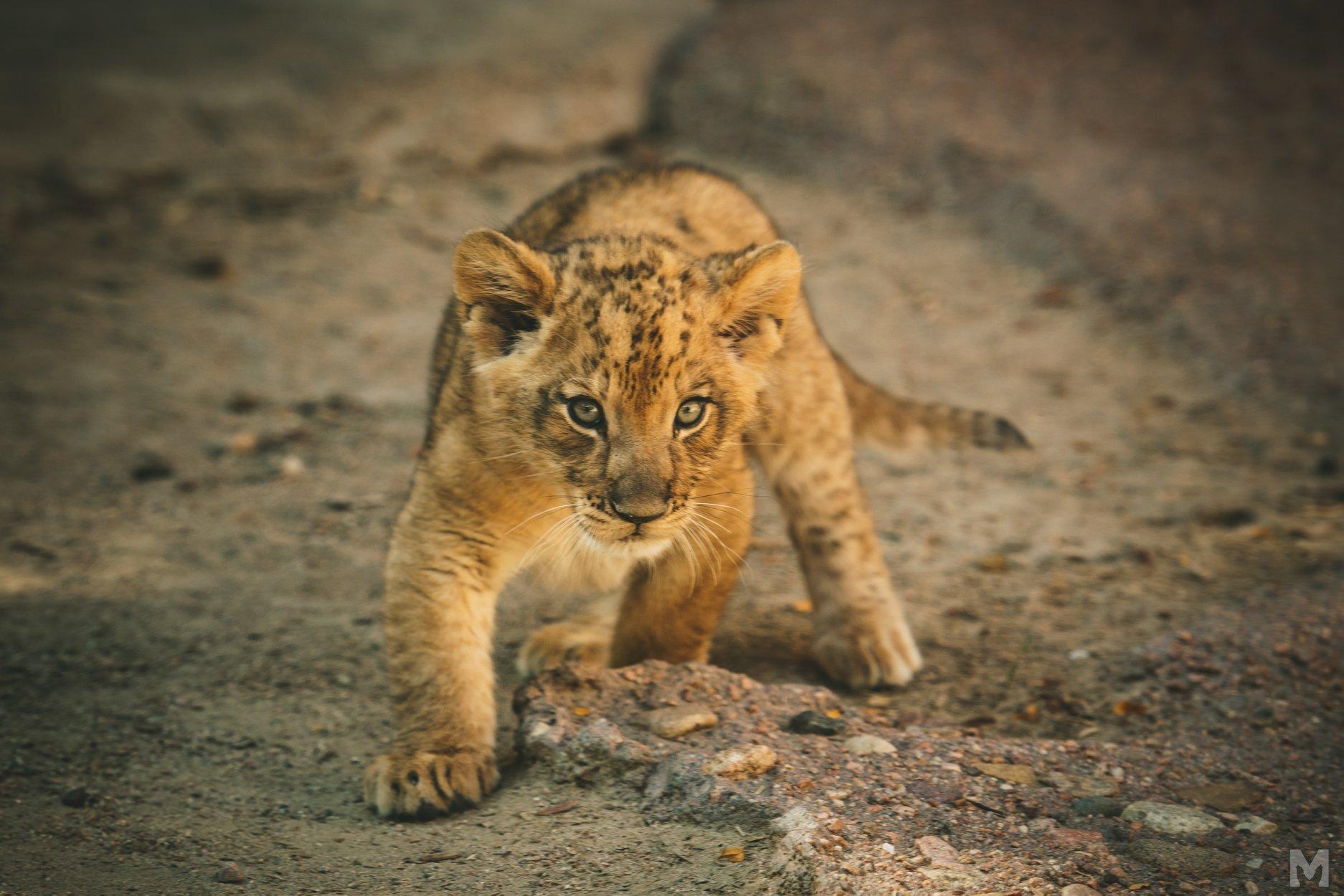 Lion Cub_8_Molly McCormick.jpg