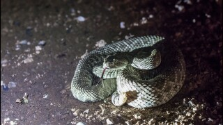 Snakes in Phoenix: Seven venomous snakes that are found in the Valley