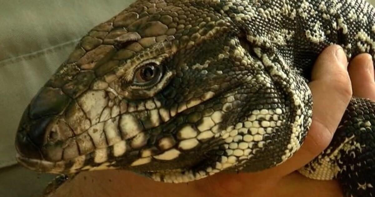 Florida declares open season on tegu lizards known to devour