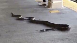 Large snake slithers onto NYC subway platform