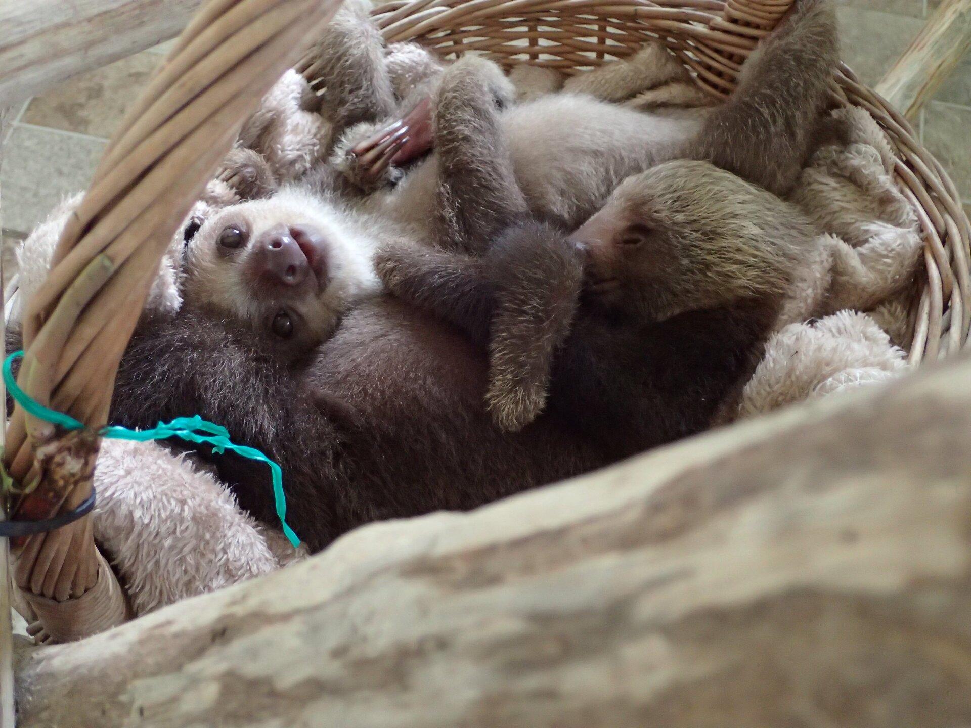 Baby Sloths (12).JPG