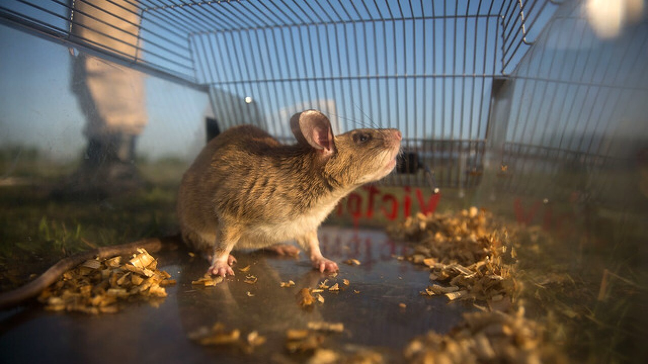 Orkin: Denver among 10 most rat-infested cities in the United States