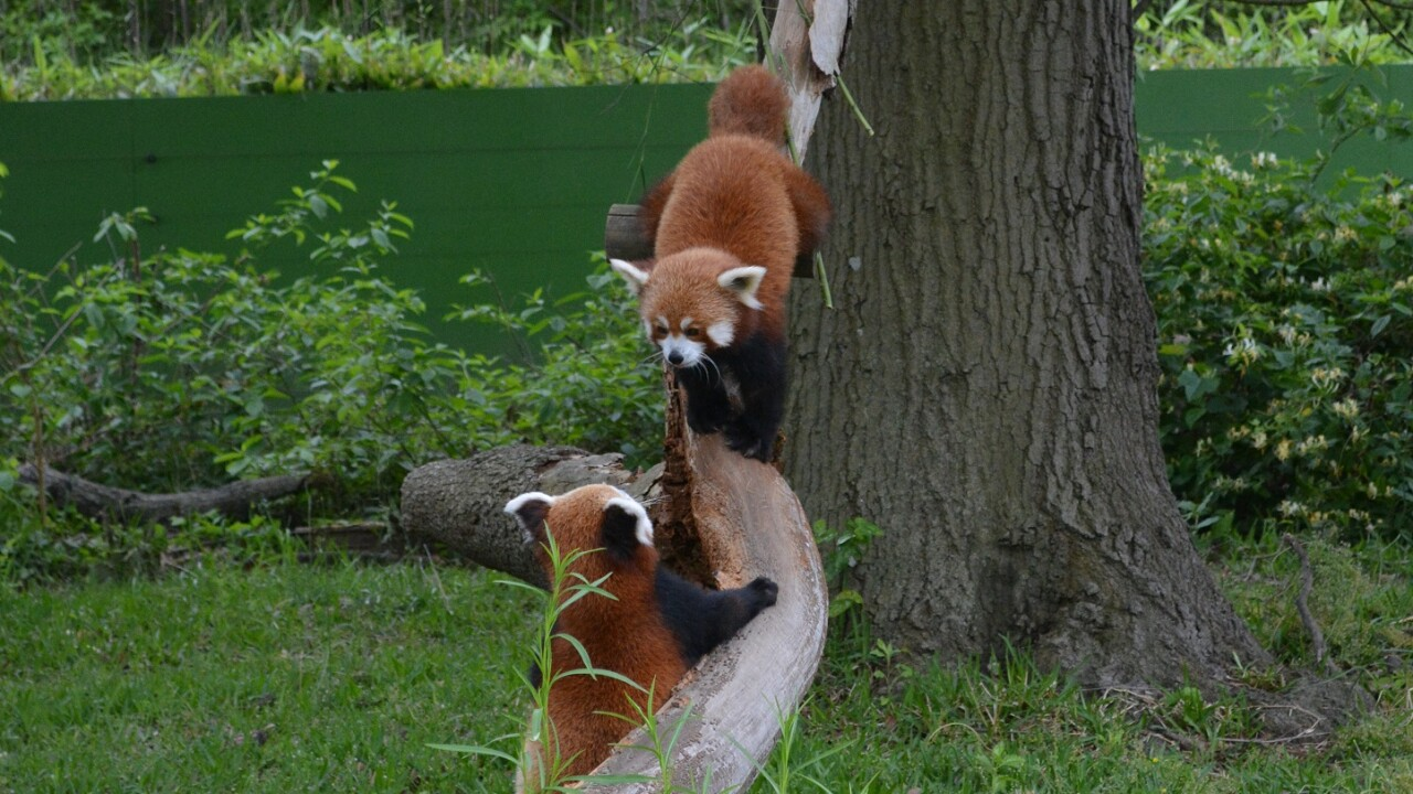 Virginia Zoo's red pandas meet their new potential mates