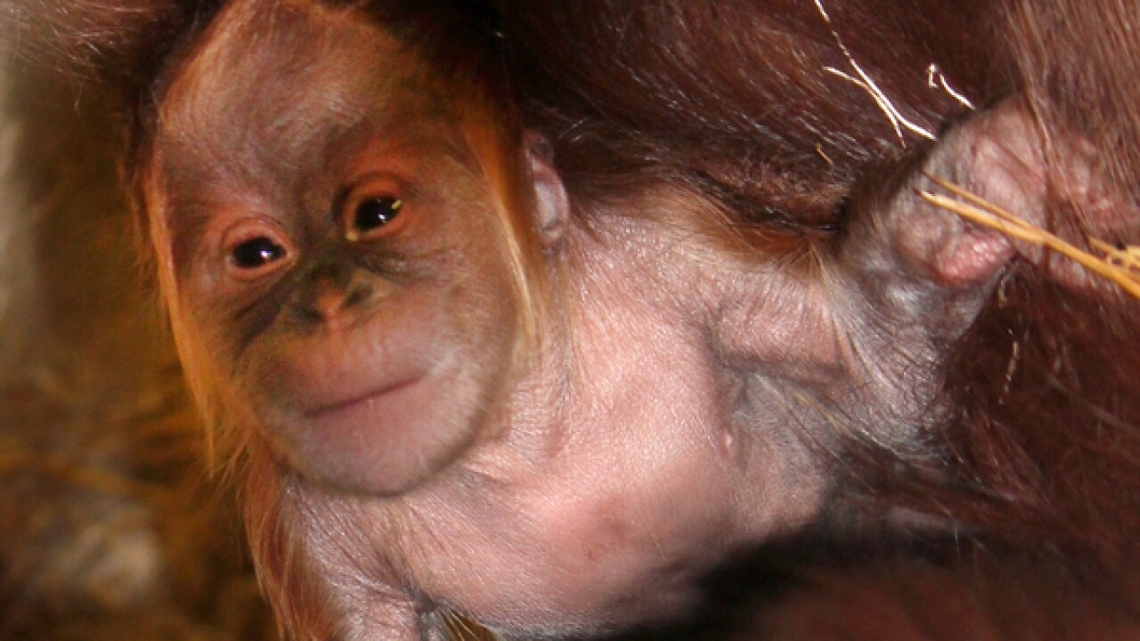 PHOTOS: Orangutan baby born at Indianapolis Zoo