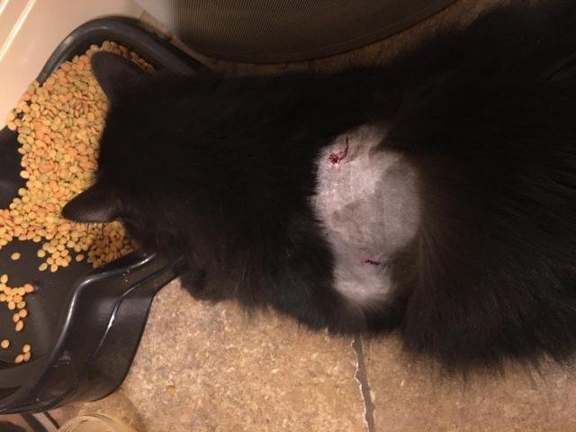 Photos: Cat hit with 7-inch blowgun dart in WashingtonCity