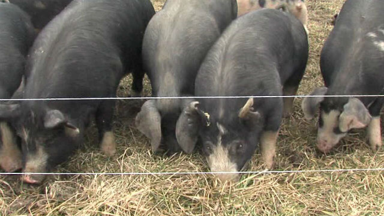 Hoosier gets flu from pigs at county fair