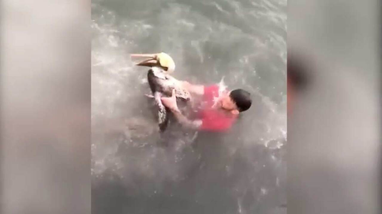The Florida Fish and Wildlife Conservation Commission is working to determine what charges might be appropriate to bring against a Maryland man who was videotaped tackling a federally protected pelican.