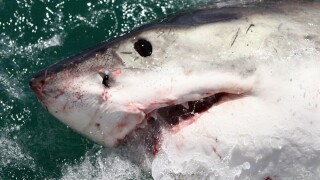 Shark-tracking app shows 6 great whites off Florida's coast