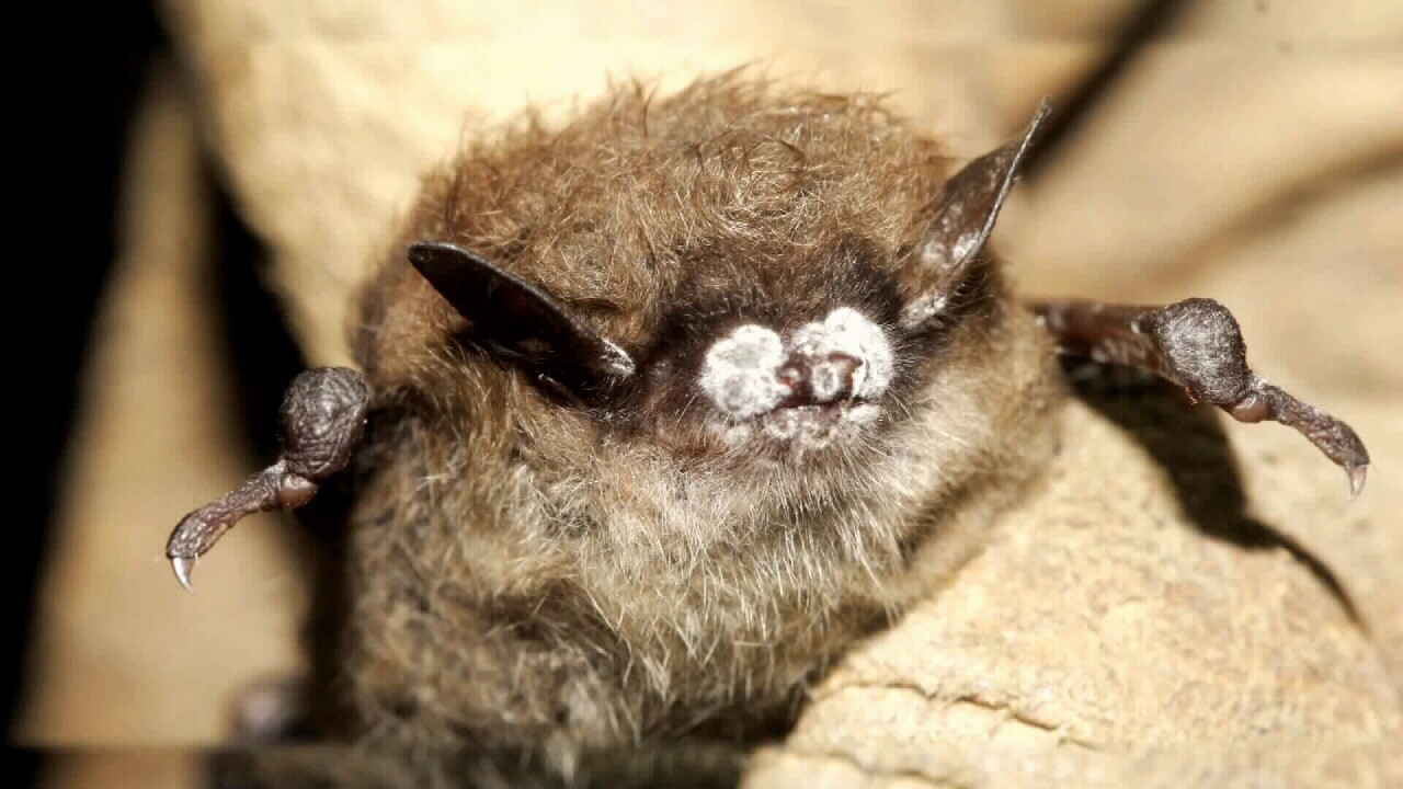 This Week in Fish & Wildlife: Bat Week returns to Lewis and Clark Caverns State Park