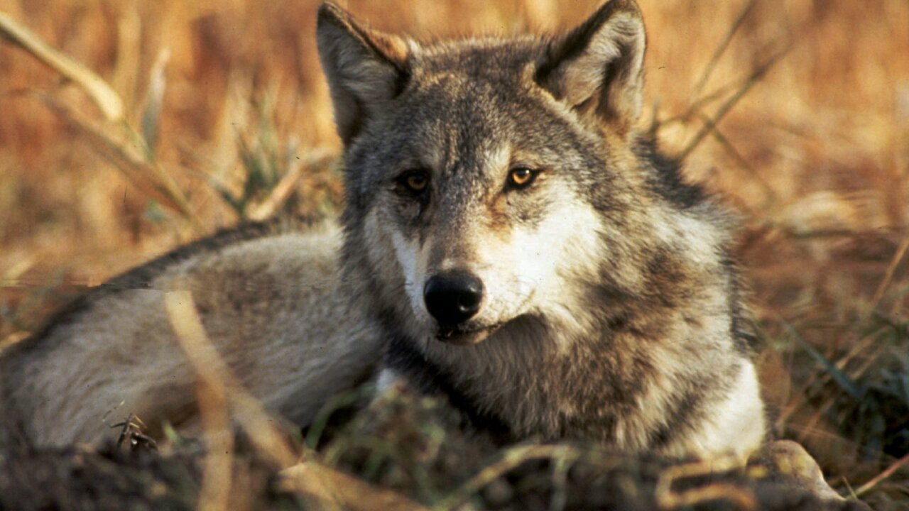 Gray wolf may soon lose endangered species protection