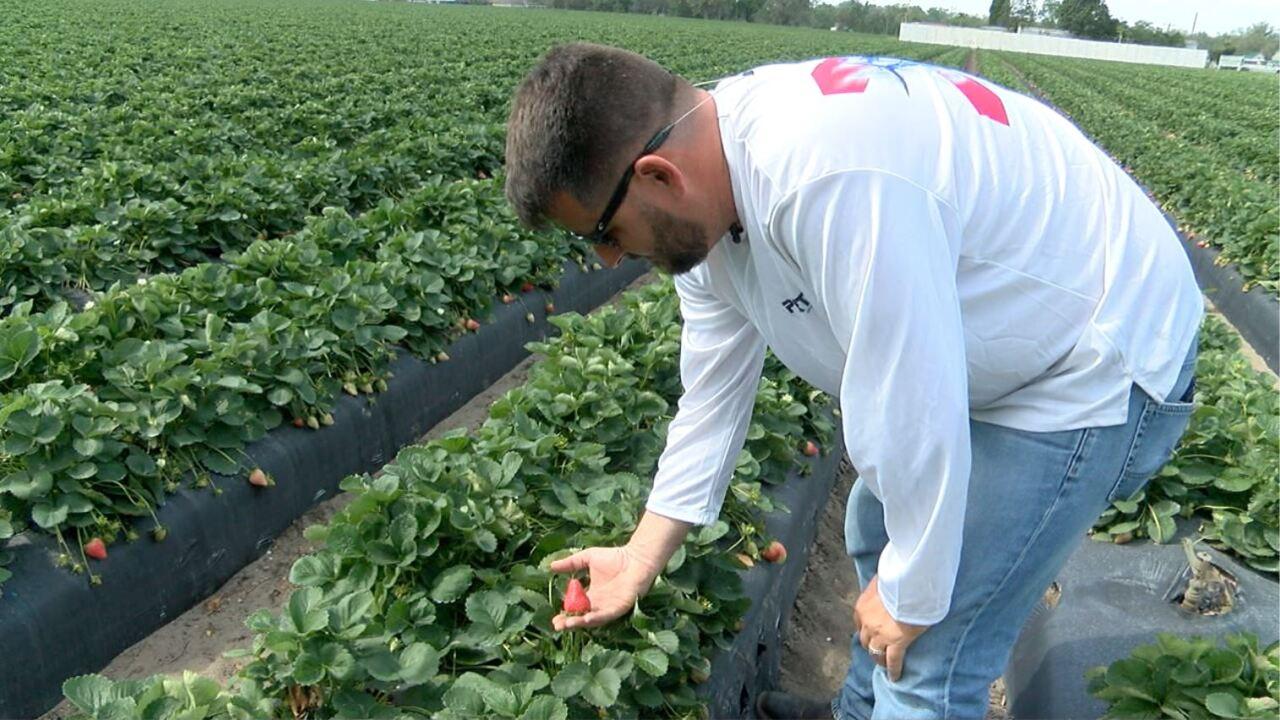 strawberry farmer.JPG