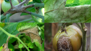 Late Blight detected in Cattaraugus, Allegany and Genesee counties