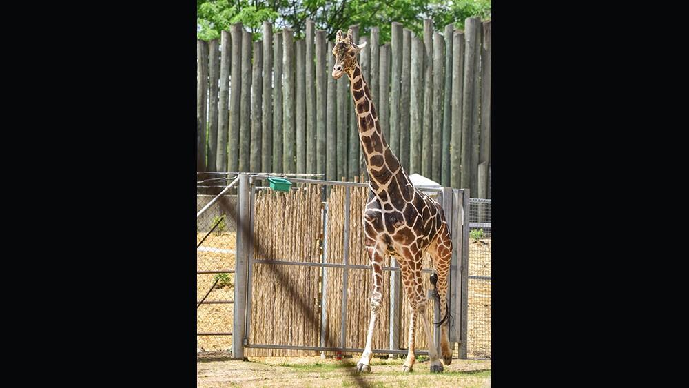 Caesar the giraffe at The Maryland Zoo.jpg