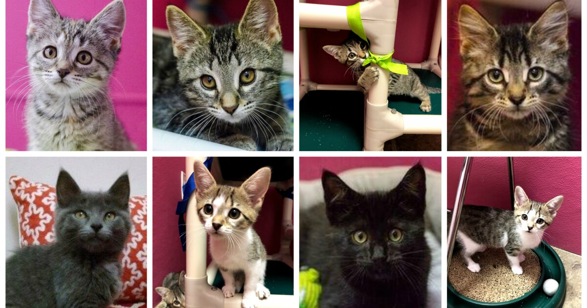 The Michigan Animal Rescue League is overflowing with adoptable kittens