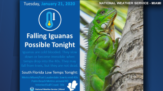 Watch out for falling iguanas during this week's cold weather, NWS warns