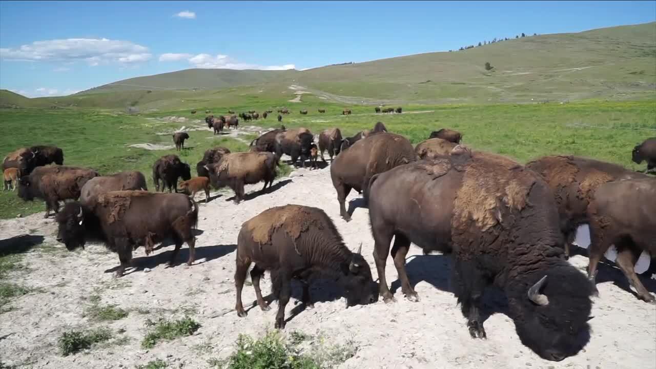 Montana AG Network: Buffalo Gals