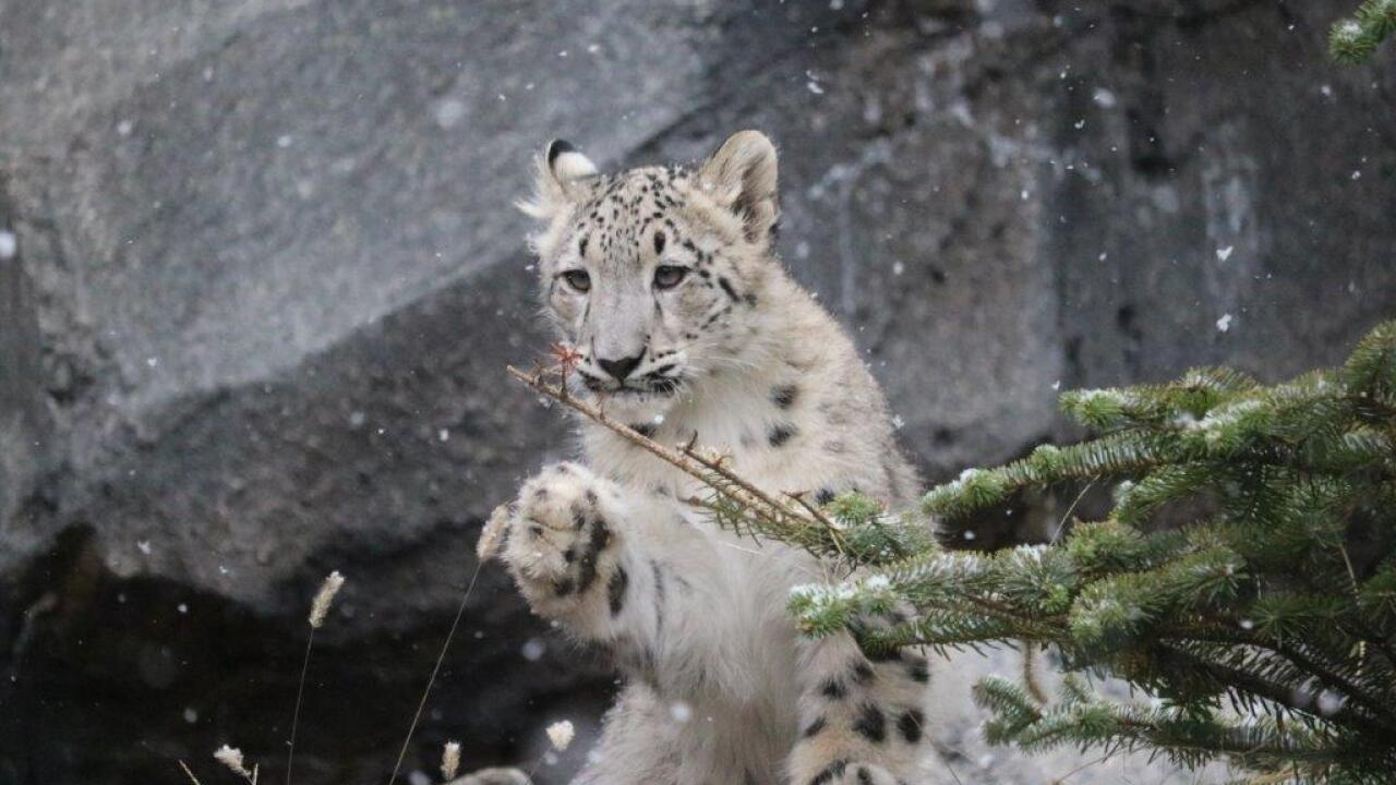 Snow Leopard Cubs at Omaha's Henry Doorly Zoo and Aquarium