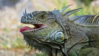 iguana-4457653_1920.jpg