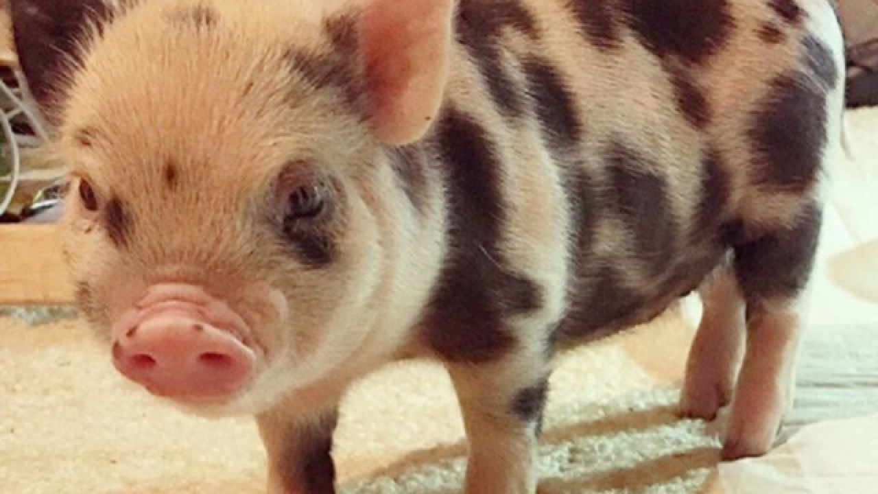 WATCH: Viral friendship between piglet, puppy
