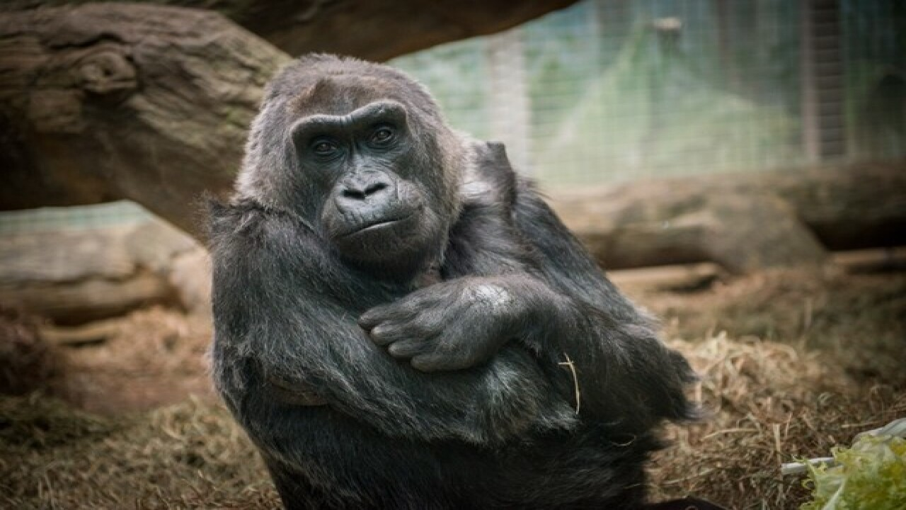 Columbus gorilla recovering after surgery