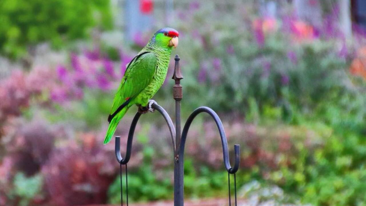 kem decew escondido parrot.jpg