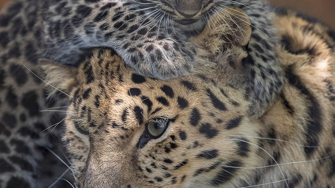 Pair of Endangered Amur Leopard Cubs Born at the San Diego Zoo Guests at the reopened San Diego Zoo are getting a first look at two endangered Amur leopard cubs, born April 26, 2020, as they explore their outdoor habitat with mom, Satka. The cubs' bi