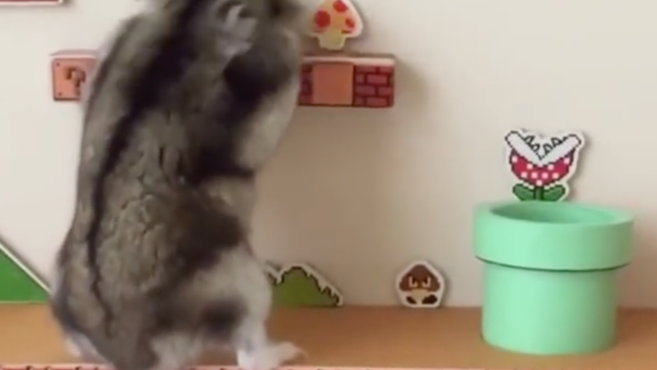 Hamster tops Super Mario Bros. level in elaborate video