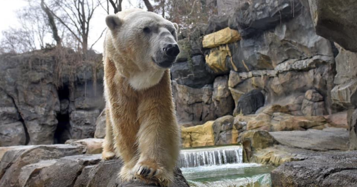 31-year-old polar bear born at Cleveland Zoo humanely euthanized at Cincinnati Zoo after renal failure diagnosis