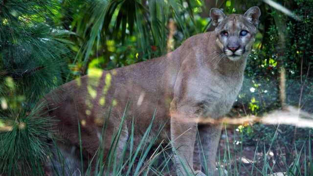Blind panther dies unexpectedly at Naples Zoo
