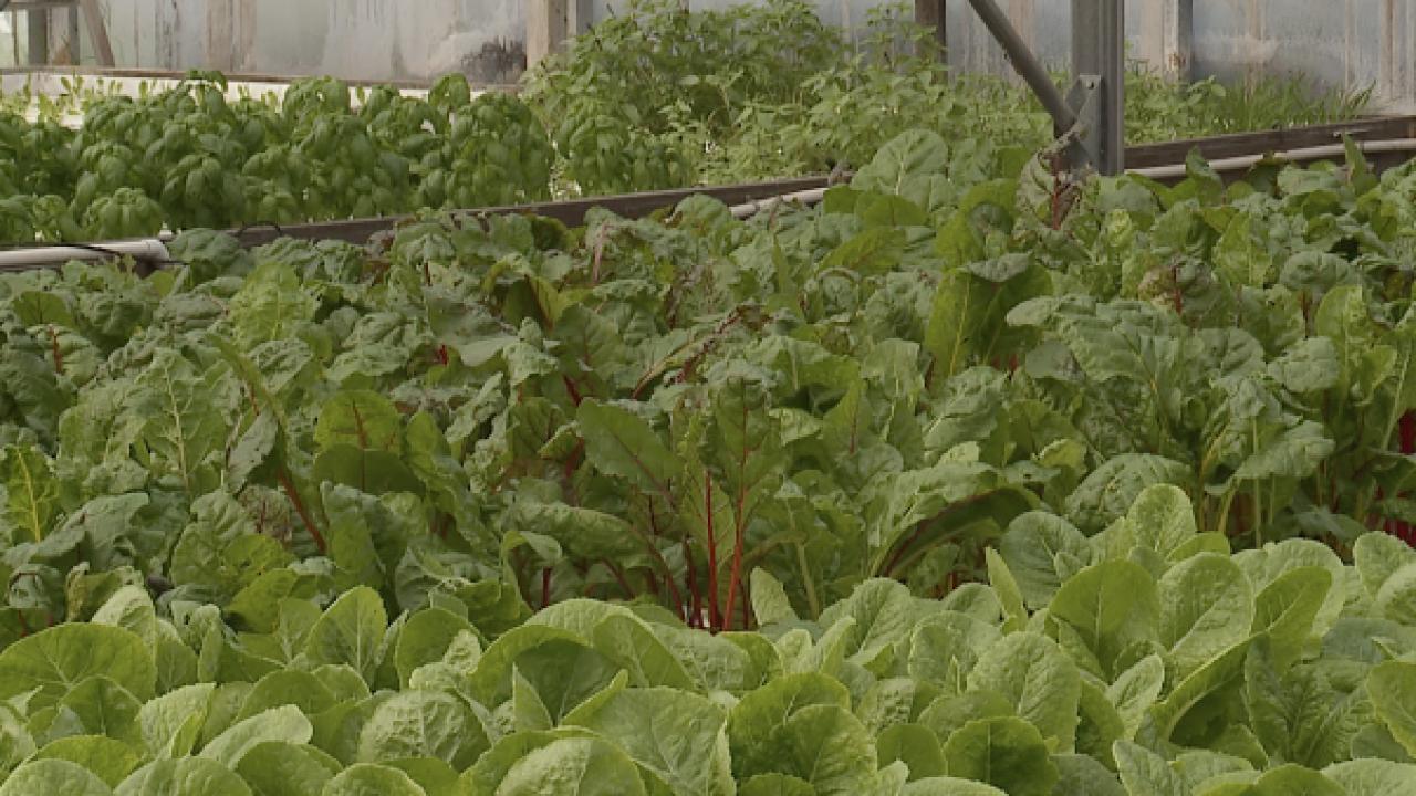 Lettuce at Merchants Garden Urban Farm