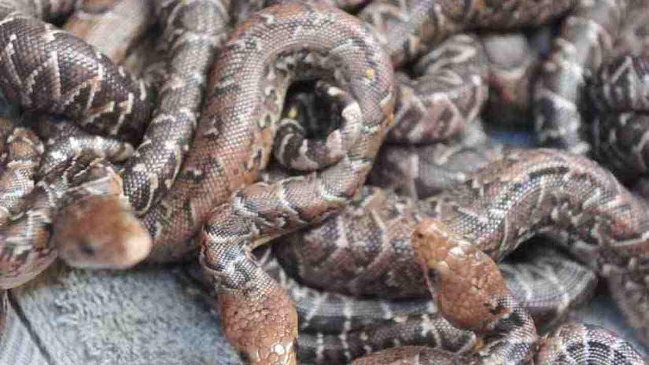 Scientist discovers snakes that hunt in packs