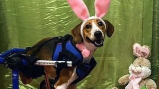 Lt. Dan Cadbury Bunny contest