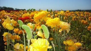 Carlsbad Flower Fields open March 1