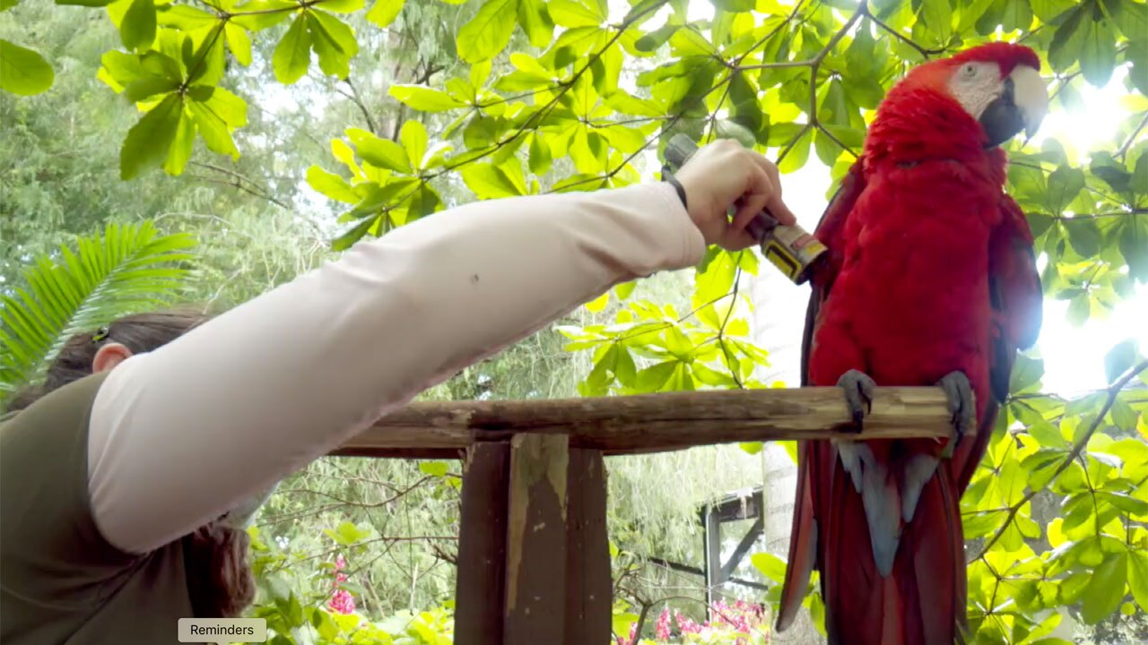 Cold laser therapy used on macaw at Palm Beach Zoo