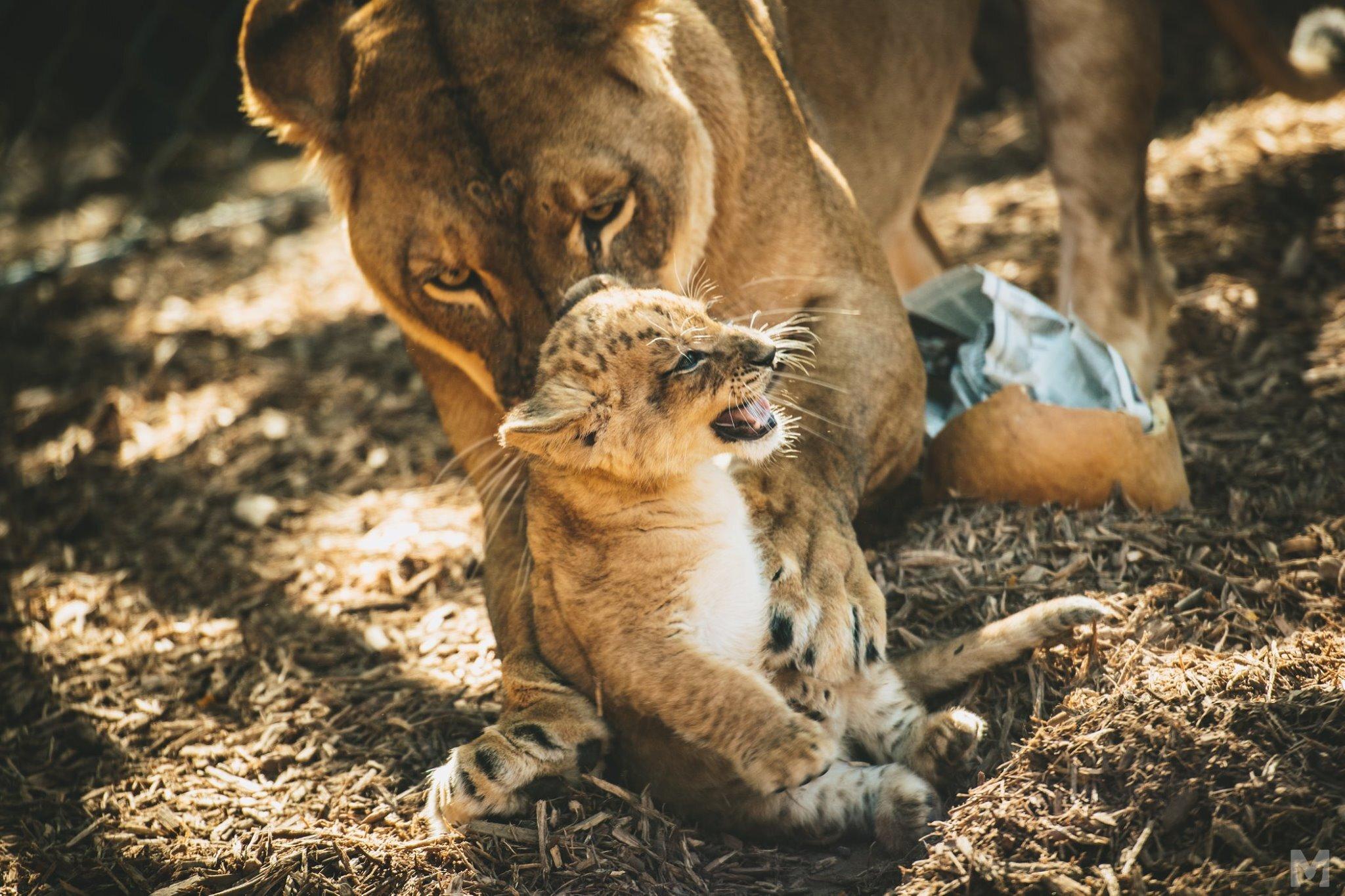 Lion Cub_5_Molly McCormick.jpg