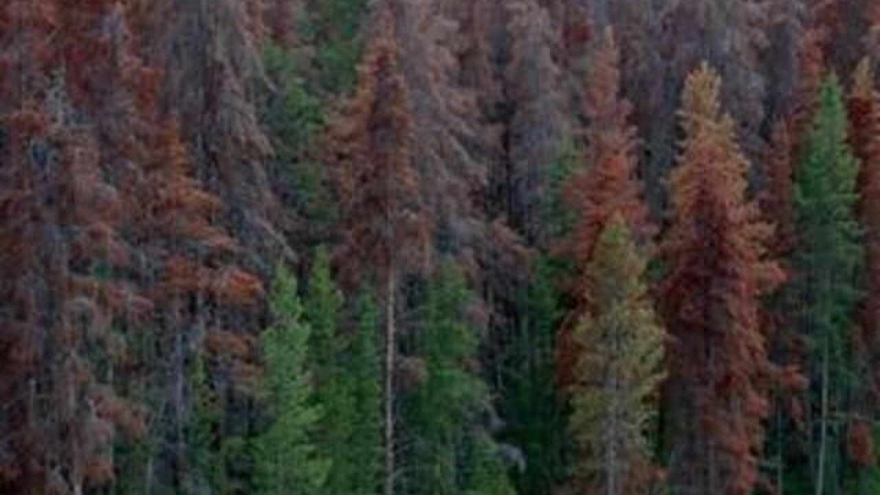 Pine beetles continue to spread in southwest Colorado