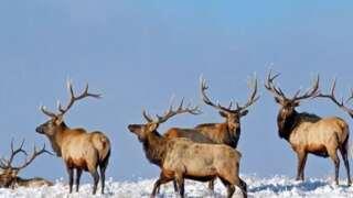 Elk harvested near White Sulphur Springs were harvested unethically FWP says