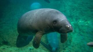 thumbnail_Manatee (Carmen) 3088 - Grahm S. Jones, Columbus Zoo and Aquarium.jpg